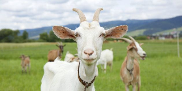 Goats Can Identify Their Mates From The Sound Of Their Calls