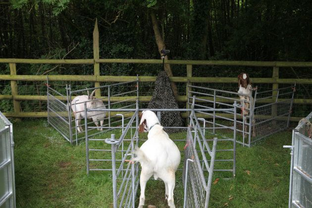The 'watcher' goat turns to his stablemate after hearing their