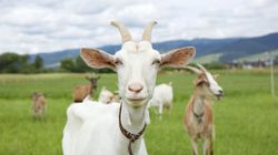Goats Can Identify Their Mates From The Sound Of Their