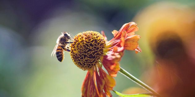 A honeybee perches on a flower.