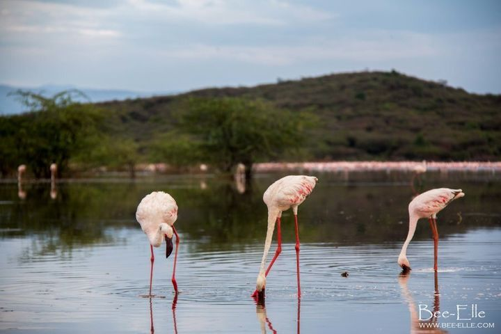 The unmistakable pink hue of the bird comes from the coloured pigments of carotenoids in blue-green algae, which protects the chlorophyll in plants from sun damage.