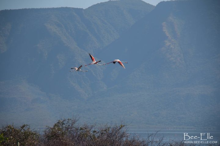Greater flamingos take flight over Lake Bogoria, which is cradled by the Ngendele Escarpment.