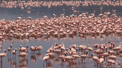 Africa's Flamingos Are Not In The Pink And Could Have Less Than 100 Years