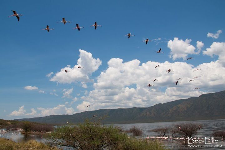 When water levels change, the lesser flamingo's food supply becomes low and flocks will move between various soda lakes along the Rift Valley.