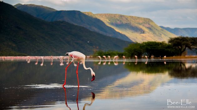If trends continue, it's estimated the lesser flamingo will become extinct in 100