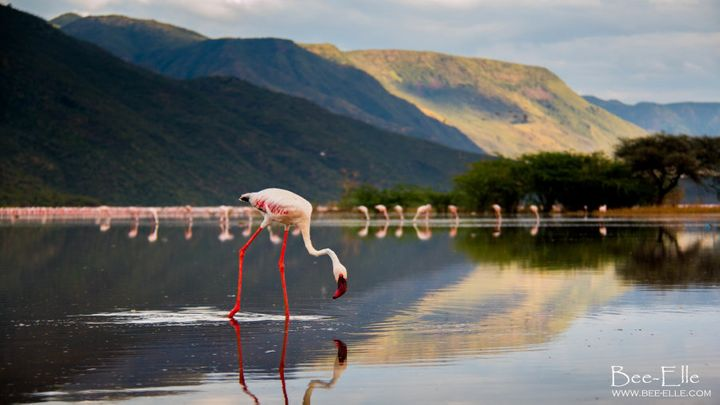 If trends continue, it's estimated the lesser flamingo will become extinct in 100 years.