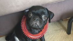 Egg The Missing Pet Pug Is
