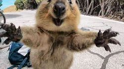 Quokka Leaps At Man, Man Takes Epic