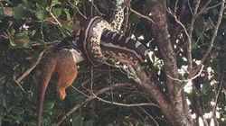 Python Photographed Eating A