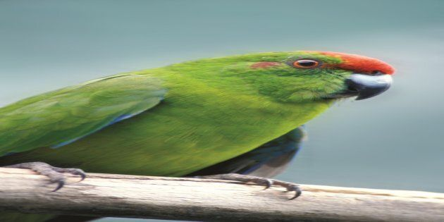 In 2013 the green parrot population was estimated to be less than