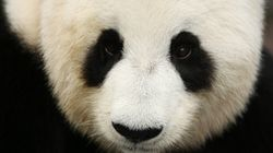 Adelaide Zoo's Giant Panda Fu Ni Has Had A