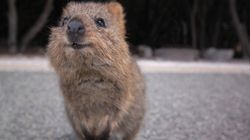 Joey Signals Hope For WA's Fire Ravaged Quokka