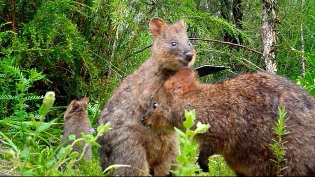 Hally said it was unusual to see the quokkas living