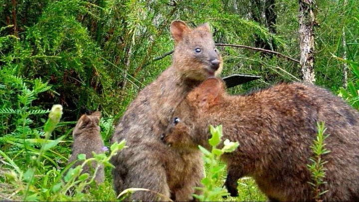 Hally said it was unusual to see the quokkas living together.