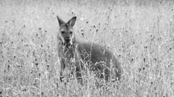 The Great Mystery Of The Wallabies Living In The Wild On A British