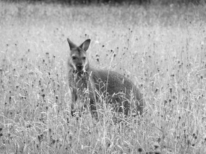 Lucky for us, the Manx love a bit of wallaby spotting.