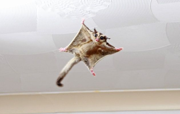 A rare eastern ceiling dropper. OK so we just made that name up. This is actually a sugar glider in somebody's house.