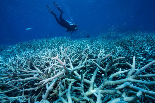 Divers looking at bleached coral on the outer Great Barrier Reef off Port