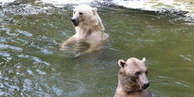 Tips left swims with her brother Taps in happier times at the Osnabruck Zoo in northern Germany