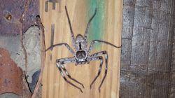 Huntsman Spider Nest Erupts, Shooting Out Hundreds Of