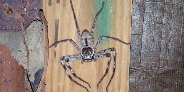 As intimidating as they look, the huntsman spider is quite harmless (to