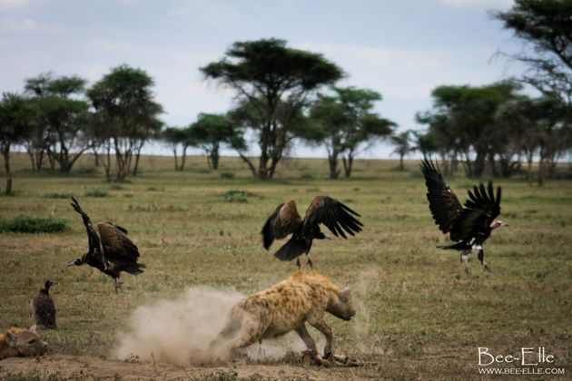 Vultures will take on much larger scavengers, including hyena and