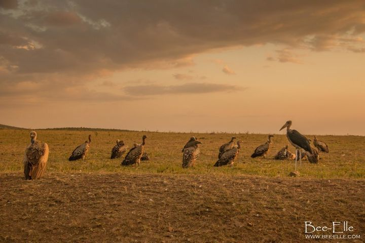 6 out of 11 species of African vulture are classified as critically endangered.