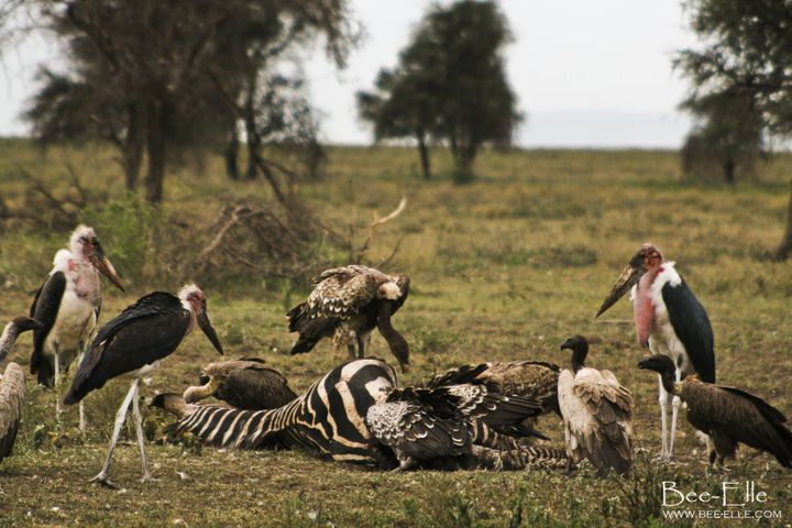 Poisoning is the main cause of deaths of vultures in Africa, which has sent this bird group into an alarming and critical decline.