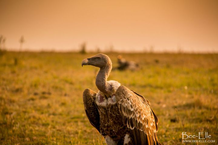 The vulture is one of the most threatened bird groups in the world.