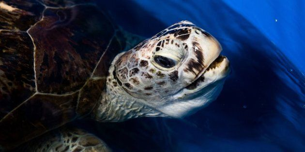 The sea turtle underwent a four-hour operation to remove the coins from her stomach after they had been...