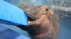 Meet Fiona The Baby Hippo, Whose Full-Time Job Is To Be