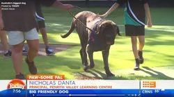 Australia's Biggest Dog, Baron, Just Qualified As A Therapy