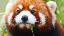 What's Cuter Than A Baby Red Panda? Three Baby Red