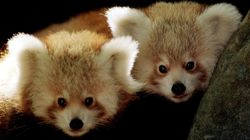 Meet The Red Panda Triplets That Are Stealing Our