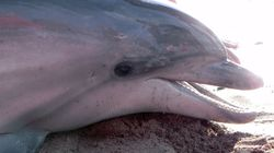 Hopes Dashed For Dolphin Stranded In WA