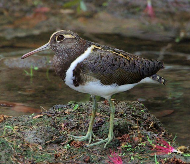 The endangered Australian painted snipe. Many of these guys hang out in the Caley Valley wetlands during the wet seasons. Their population is declining due to lose of wetland habitat.