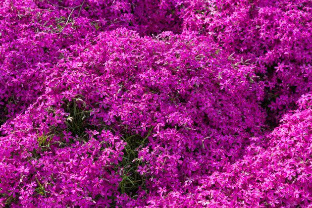Here's what the 'Pink Moss' plant looks like.