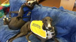 Meet Boots And Rush, The Rescue Greyhounds Helping Kids At A Perth High