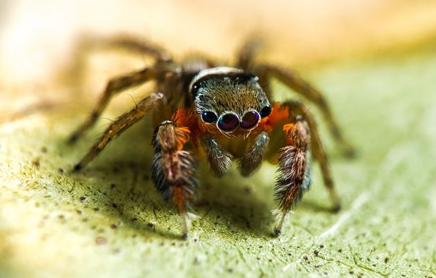 Here's a newly discovered jumping spider, Saliticidae