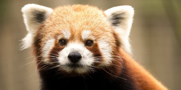 The Red Panda wearing his fight eyes.
