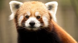 You'll Probably Want To Watch This Red Panda Fighting A