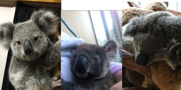 Police Search Underway For Stolen Baby Koalas Missing In