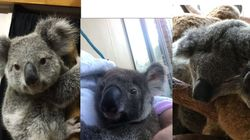 Police Search Underway For Stolen Baby Koalas Missing In