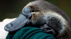 'Sharp Object' Used In Brutal NSW Platypus