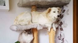 Dog Who Grew Up With Cats Chills In The Cat Tree Like It's
