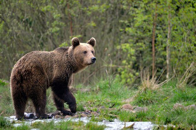 L'animal a été repéré dans le parc naturel de Montesinho et dans la commune...
