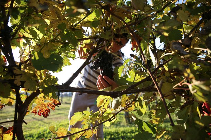 Backpacking fruitpickers can dispute pay claims with the Fair Work Ombudsman.