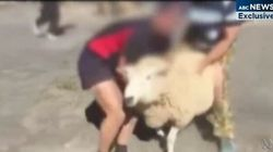 Prestigious Private School Students Tackle Sheep In Rugby