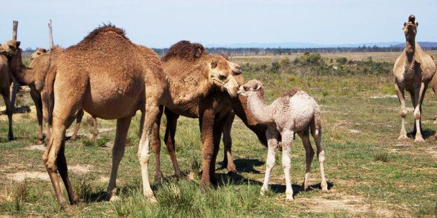 The young camels stay with their mother until they are weaned at around 2 years of