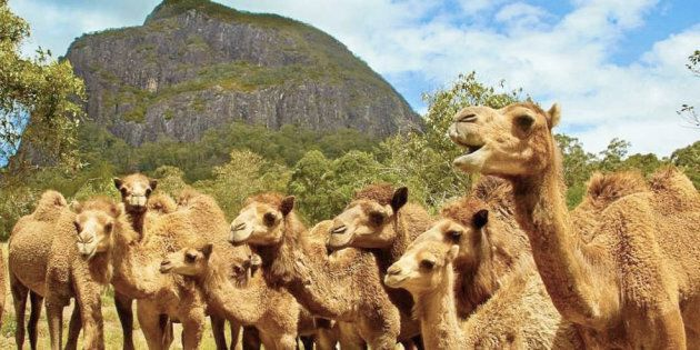 The herd is free to roam the Sunshine Coast